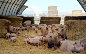 Some of our Farm to Fork hogs enjoying a hoophouse in Washington.
